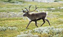 Arctic Ice Is Retreating and Reindeer Are Going With It