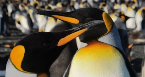 King penguins are the second largest species of penguin