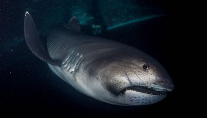 Rare Megamouth Shark Arrives at the Smithsonian