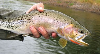 eeaf650b9025b The native westslope cutthroat trout (named for the slash of red on its  throat) is staging a comeback after decades of losing ground to its  immigrant ...