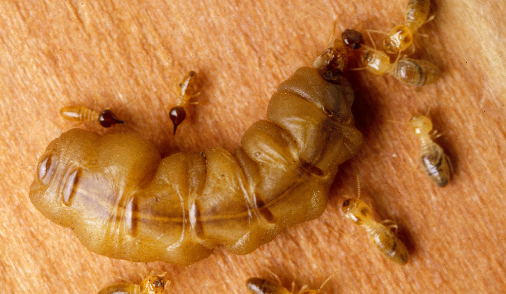 Mature termite queen surrounded by workers and soldiers.