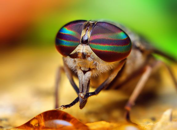 Tabanus species (horse fly), by Thomas Shahan