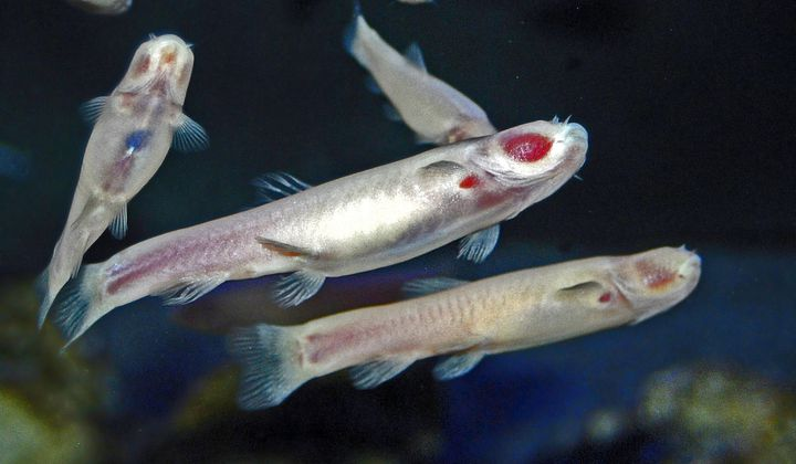 Blind Cavefish Shed Light on Mammalian Evolution