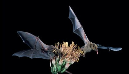 Once Rare Nectar-Feeding Bat Removed From U.S. Endangered Species List