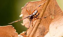 Citizen Scientists Show Black Widows Creeping North In Canada