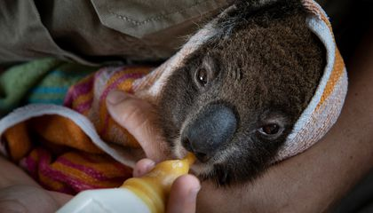 The Great Koala Rescue Operation