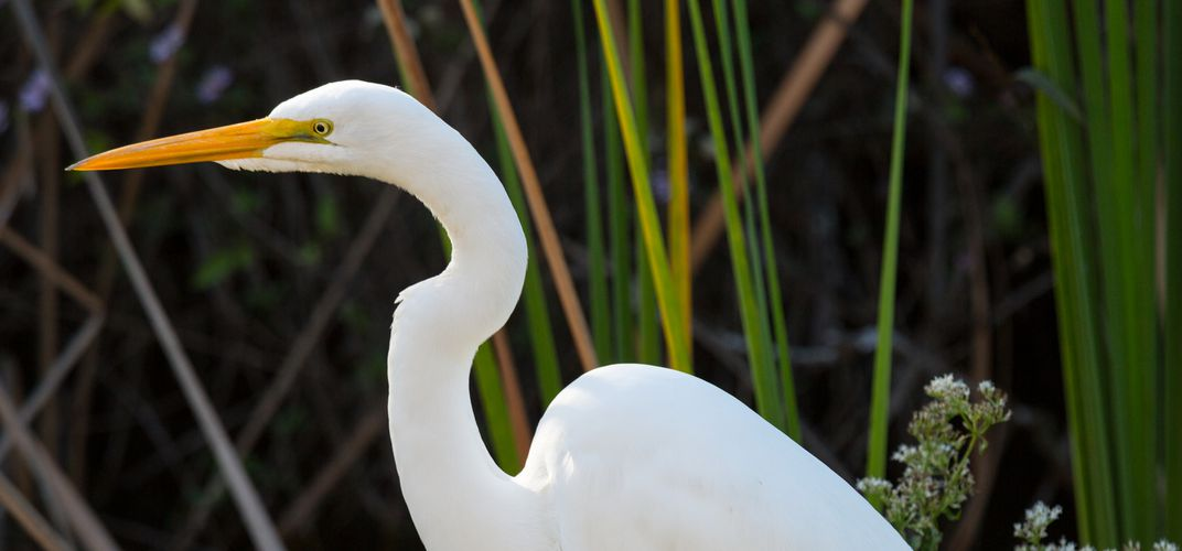Great White Egret, Everglades National Park