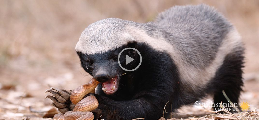 Caption: A Honey Badger and Mole Snake Fight to the Death