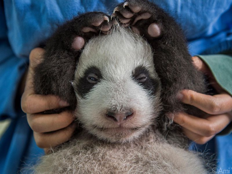 Panda love - baby with hands over head