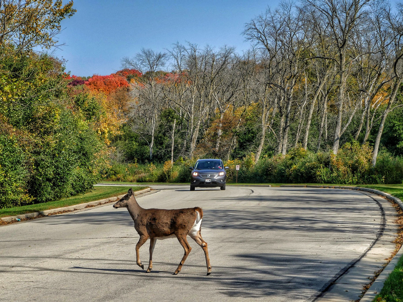 A photograph of a deer walking across the road while a car approaches