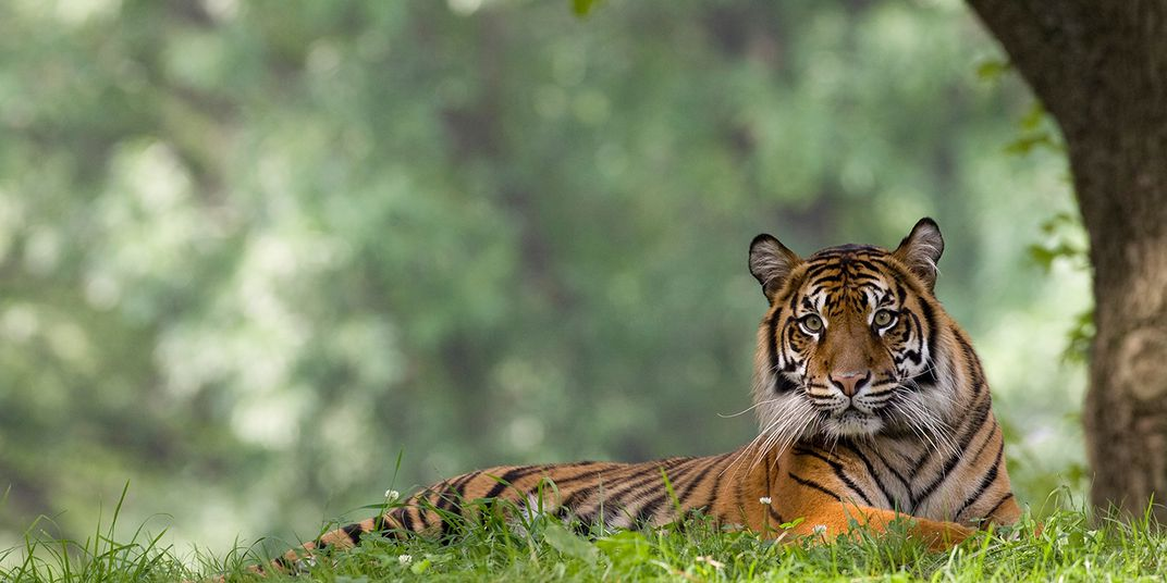 A Sumatran tiger rests in the grass near a tree at the Smithsonian's National Zoo.