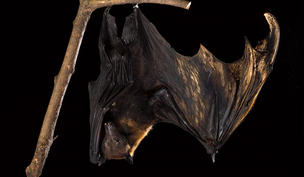 Researchers tracked Nipah virus to fruit bats which contaminated raw date palm sap pots with saliva and other bodily fluids.