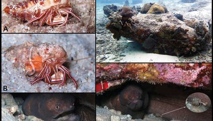 Smithsonian Scientist and a Reef-Diving Grandmother Team Up in Discovery of New Hermit Crab