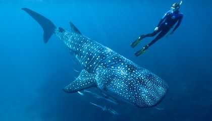 Researchers Calculated a Whale Shark's Age Based on Cold War-Era Bomb Tests
