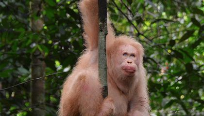The Only Known Albino Orangutan Is Doing Great After Her Release to the Wild