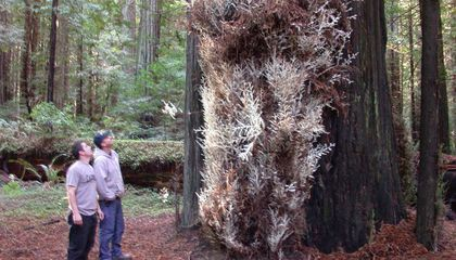One of World's Ten Albino Redwoods Might Be Cut Down