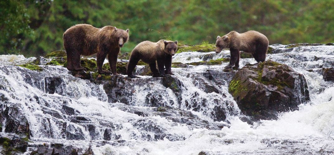 Brown bear with cubs fishing for pink salmon on Chichagof Island. Credit: Michael S. Nolan