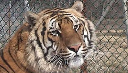 A Farewell to Ming, the Siberian-Bengal Tiger Who Spent Three Years in a Harlem Apartment