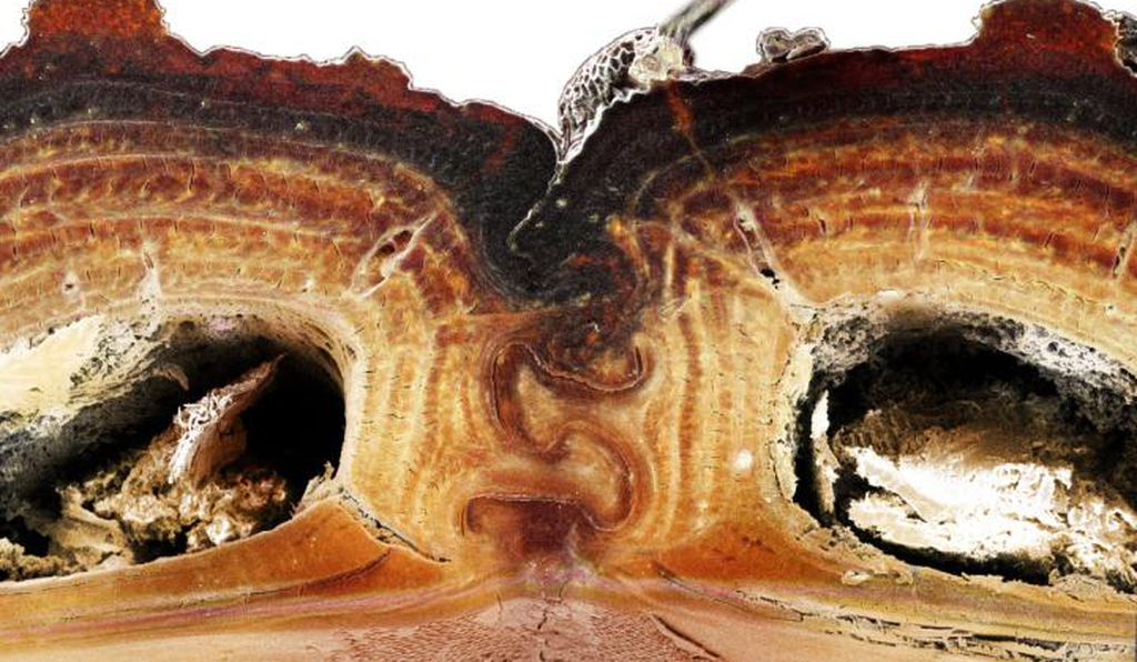 A cross section shows the puzzle piece-shaped joint that's among the keys to the insect's incredible durability.