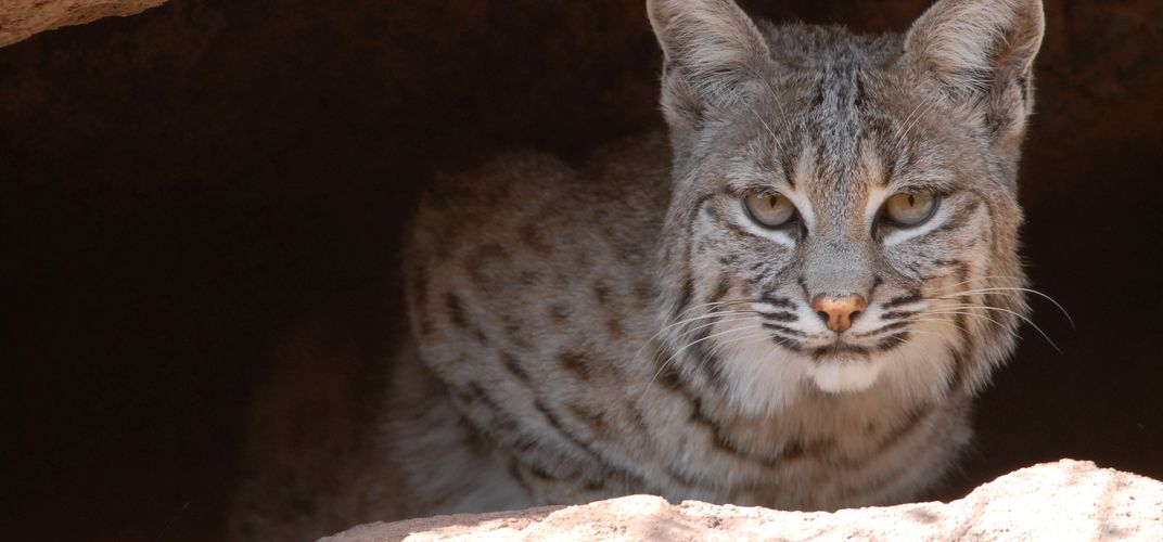 Bobcat at the Arizona Sonora Desert Museum