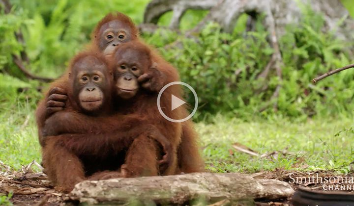 Orangutans Need to Learn to Fear Snakes