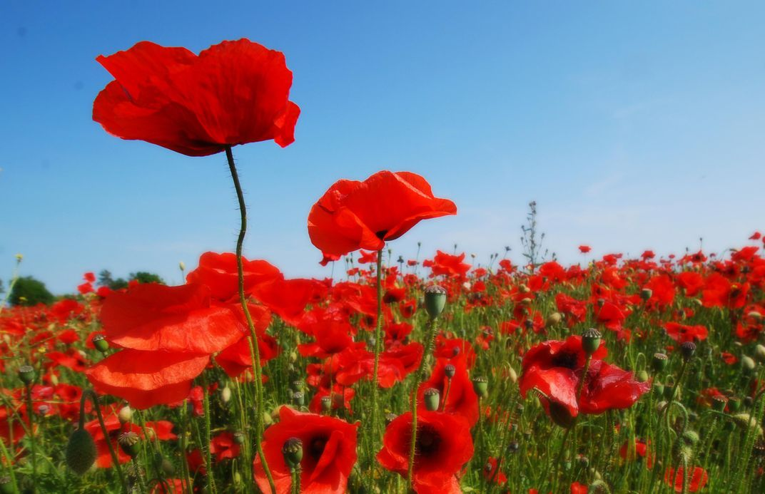 How The Poppy Came To Symbolize World War I Smart News Smithsonian