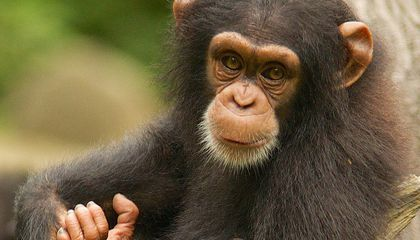 Great Apes May Use Their Own Experience to Guess What Others Will Do