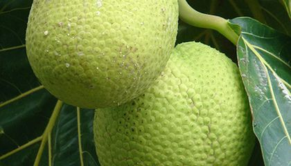 Breadfruit, the Holy Grail of Grocery Shopping