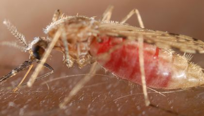 Mosquitoes Can Carry, and Deliver, a Double Dose of Malaria