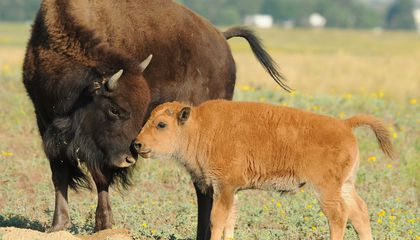 "Baby Bison Euthanized After Tourists Try to ""Save"" It"