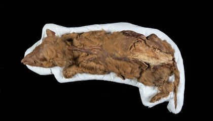 A 57,000-Year-Old Mummified Wolf Pup Was Discovered Frozen in Yukon Permafrost