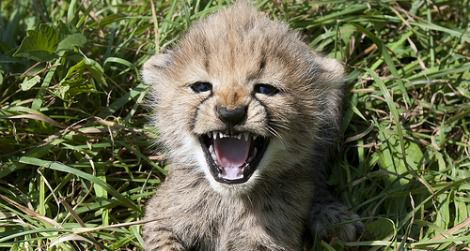 One of Amani's five cubs at seven weeks age