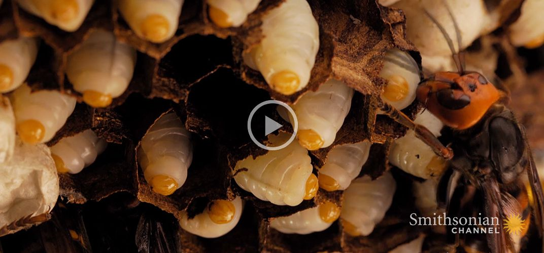 Caption: The Extraordinary Life Cycle of a Hornet Colony
