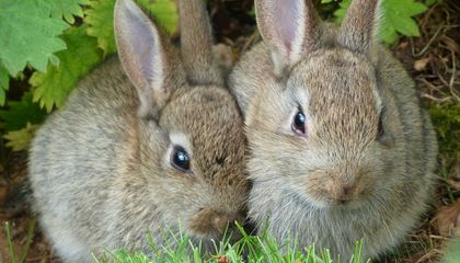 Invasive Rabbits Change the Soil so Drastically you Can See the Effects Decades Later