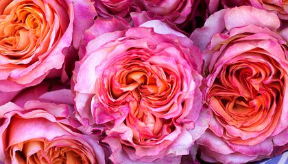 The Patents Behind the Roses You Receive on Valentine's Day