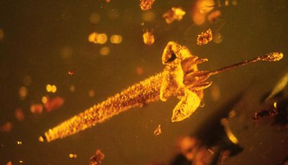 New Species of Prehistoric Flower Discovered Preserved in Amber