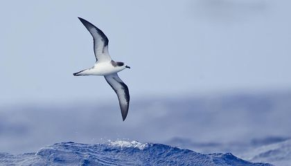 Bones of the Hawaiian Petrel Open Up a Window Into the Birds' Changing Diet