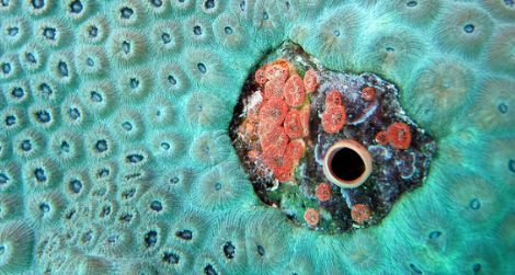 Small red boring sponges embedded in star coral, killing the coral polyps immediately surrounding them.