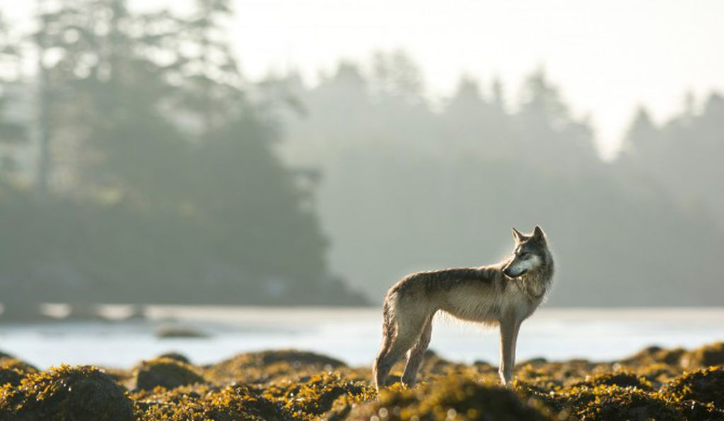 Wolves are an important part of First Nations' traditions and stories on the coast.