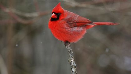 Cardinals in Different Regions Could Actually Be Distinct Species, Their Songs Suggest