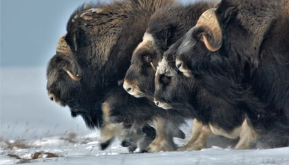 To Understand the Elusive Musk Ox, Researchers Must Become Its Worst Fear