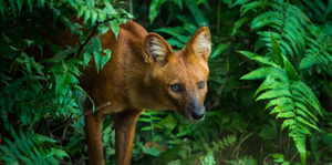 Podcast: Never a Dhole Moment with Dr. Nucharin Songsasen