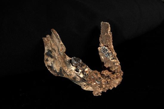 One of the lower jaws recently unearthed at Koobi Fora, Kenya.
