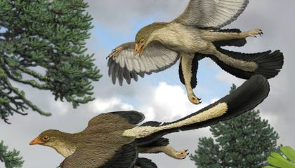 Feathers Fuel Dinosaur Flight Debate