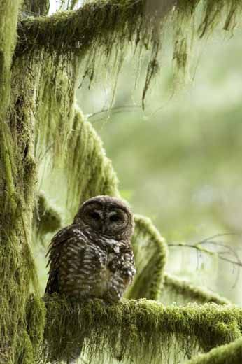 The Spotted Owl's New Nemesis   Science   Smithsonian