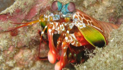 Why Mantis Shrimps, Not Sharks, Might Be the Most Amazing Predators in the Sea