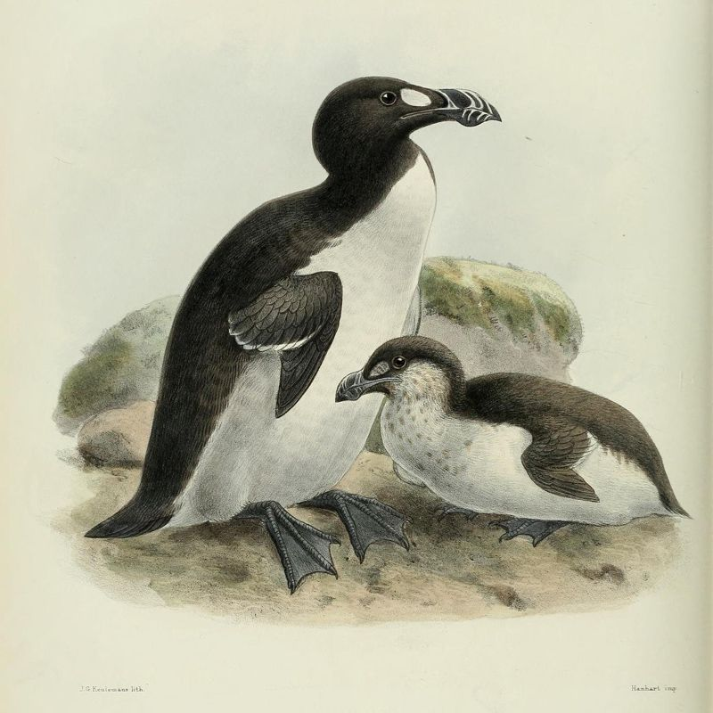 Image result for Great Auk