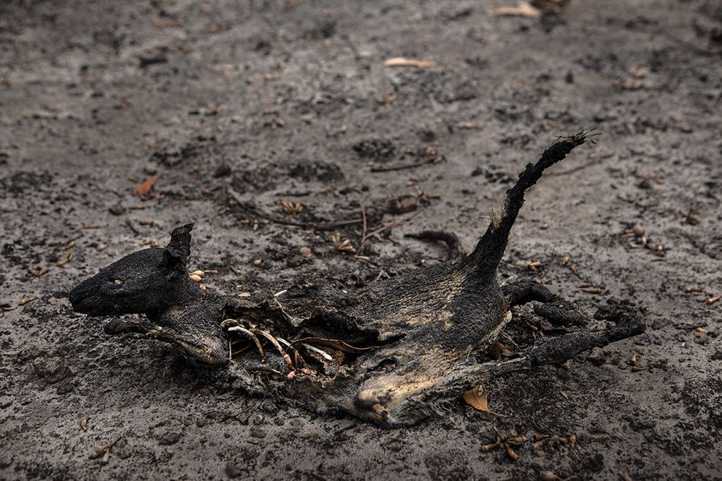 The remains of a Tammar wallaby. Where the fires raged, populations of kangaroo and wallabies were devastated; up to 40 percent of the island's unique kangaroo subspecies may have been killed.