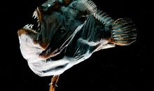 Anglerfish Drop Their Immune Defenses to Find Love