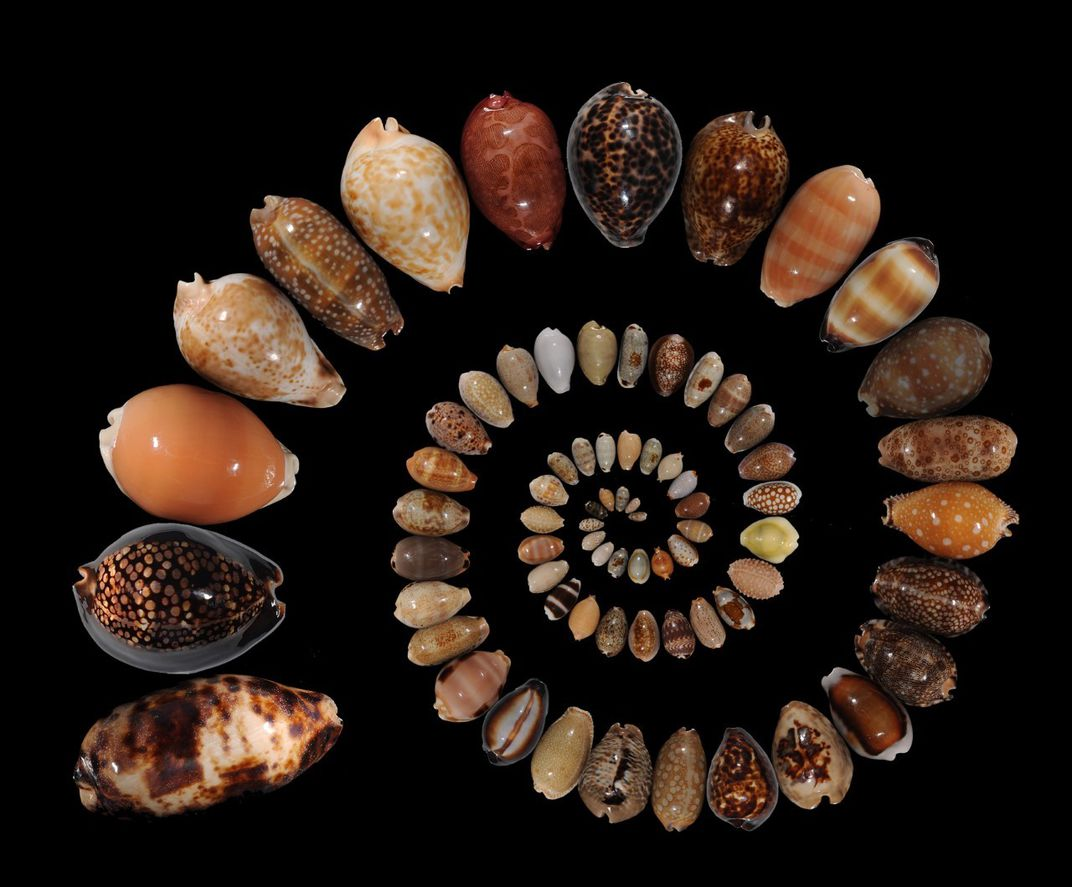 Cowrie shells arranged in a spiral on black background